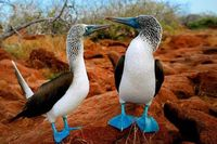 Blue-footed-booby-galapagos-islands-bird-sula-animals180