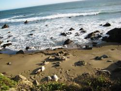 Elephant_seals_lazing